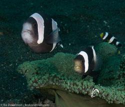 BD-090925-Lembeh-9253909-Amphiprion-polymnus-(Linnaeus.-1758)-[Saddleback-clownfish].jpg